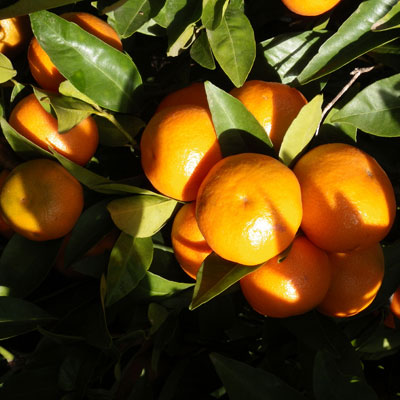 Variety of clementine Clemenules