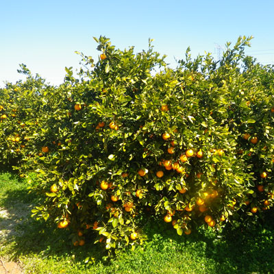 Care of orange trees in the Valencian orchard