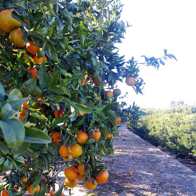 Natural tangerine clementines from the orchard