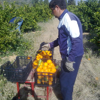 The fruit is weighed in the orchard in a traditional way