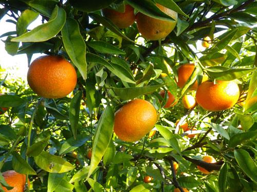 mandarina hernandina de Comenaranjas.com