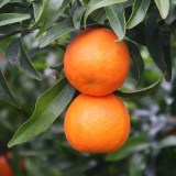 Clementines 10 kg
