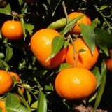 Clementines 15 kg