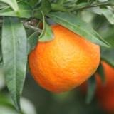 Mandarina Okitsu (kg)